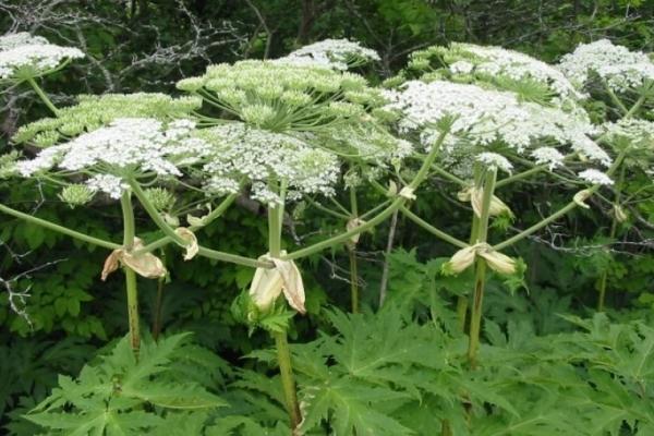 На Тернопільщині масштабно знищують смертельно небезпечну рослину