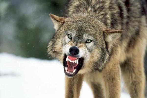 На Тернопільщині вовки нищать худобу