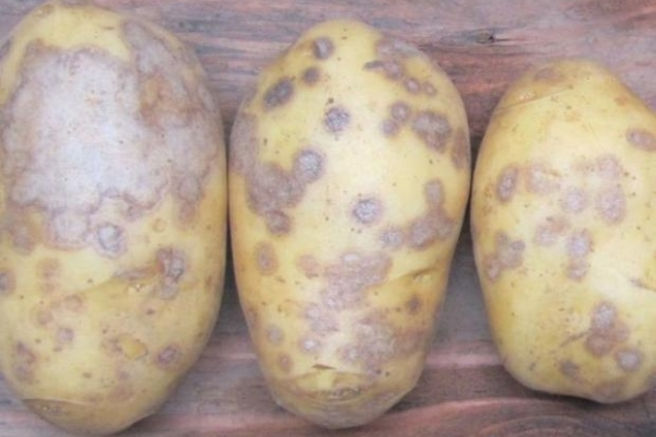 Картопля в Україні заражена небезпечною хворобою