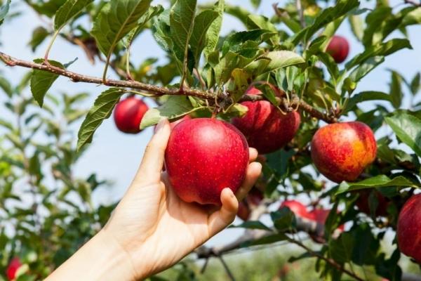 Чому лікарі радять їсти щойно зірвані яблука?